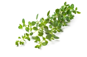 Oregano on a white background